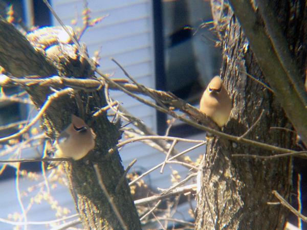 歌舞伎和菓子のようなとりたち。Cedar Waxwingーヒメレンジャクの大家族が窓の外の木に停まって日向ぼっこしている。30匹くらいの大グループでハングアウト。