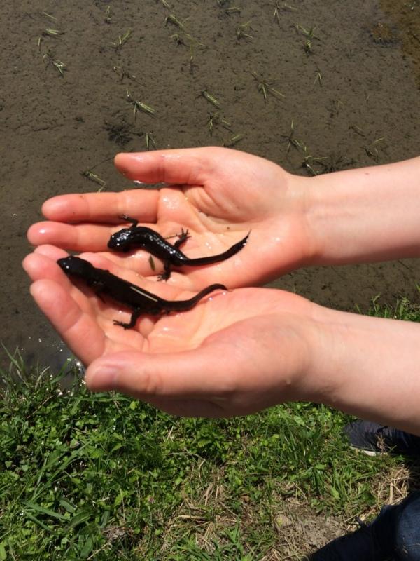 産まれて初めて、アカハライモリを捕まえる。生物の多様性を感じながら、きれいな水の田んぼである証拠