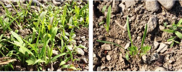 before & after 人参の双葉は他の雑草と似ているので、このギザギザの葉が出て来るまでは、見分けるのにかなり苦労する