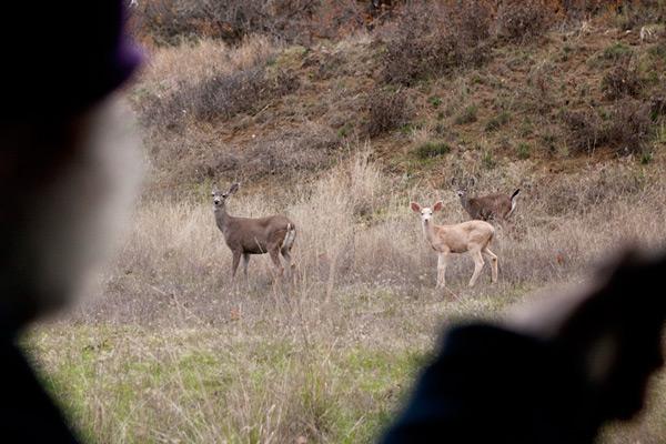 珍しいクリーム色の鹿。