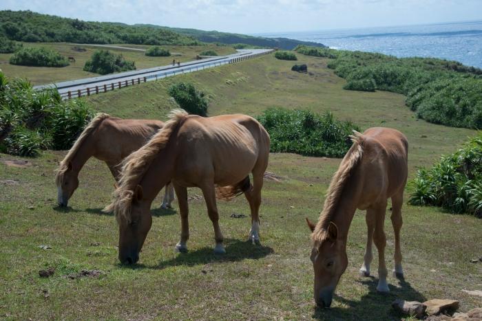 駐屯所の予定地の側の与那国馬