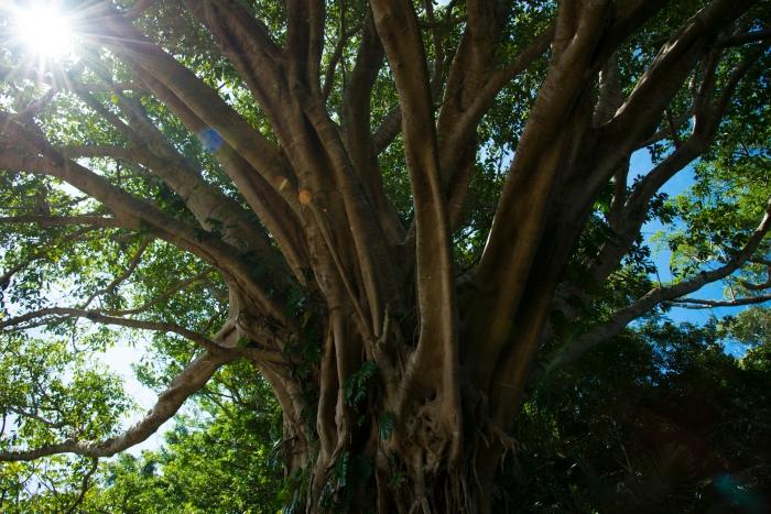島の守り木「アグの木」
