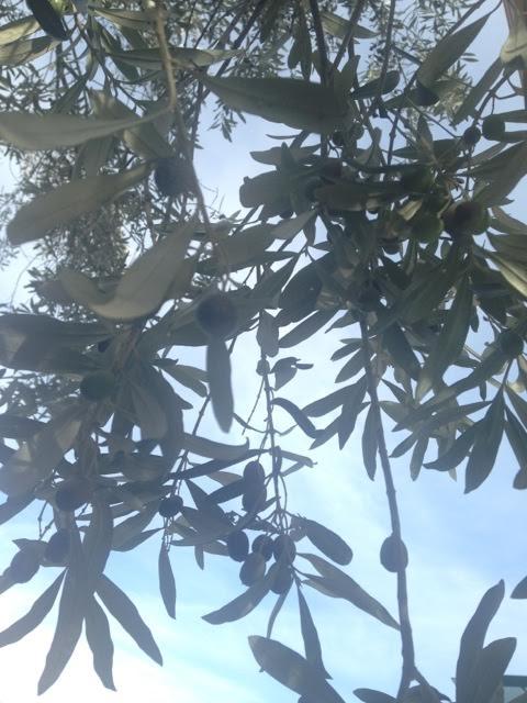 この地域には国立公園も多く、オリーブはすべて有機栽培。
