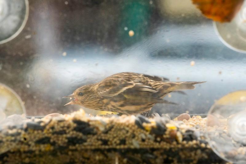 他の鳥たちはしっかり自分の番を待って、食べてはすぐに飛び去ってはまた戻って順番を待つ。この子だけ一人居座り黙々を餌をついばむ。若いJuncoかな?